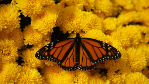 butterfly on yellow flowers, view from above